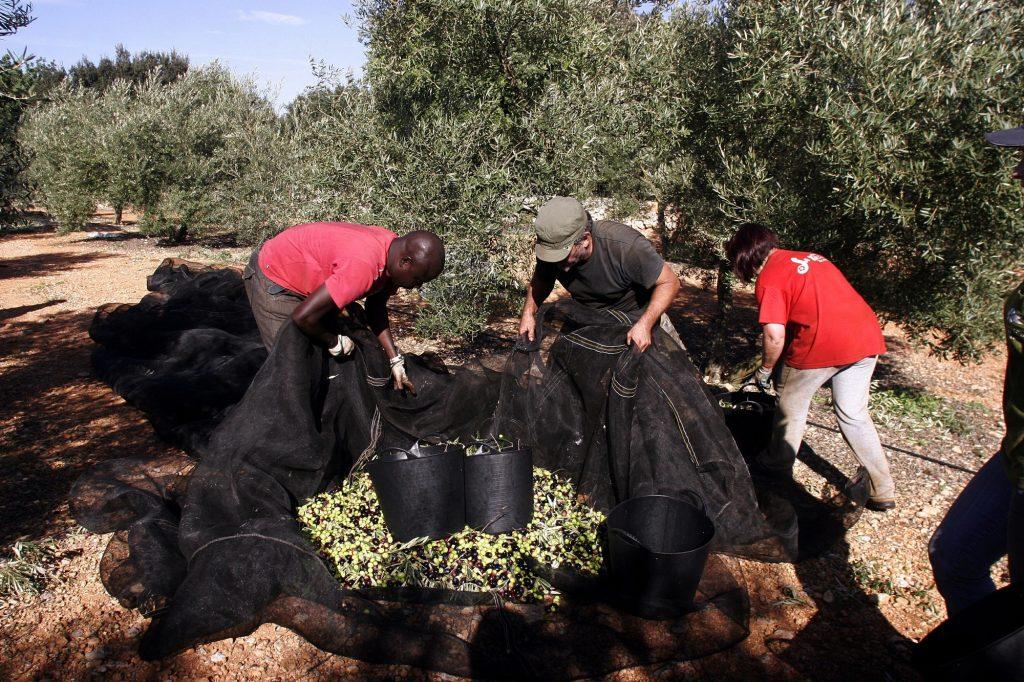 Al novembre es recullen les olives