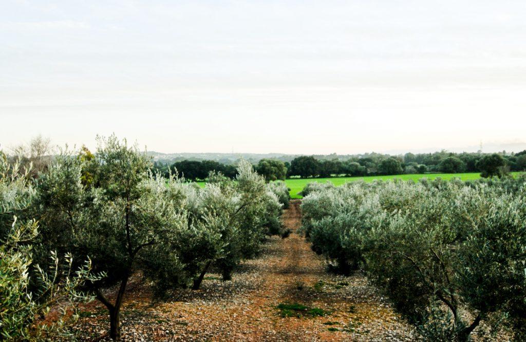 Les oliveres de Jornets