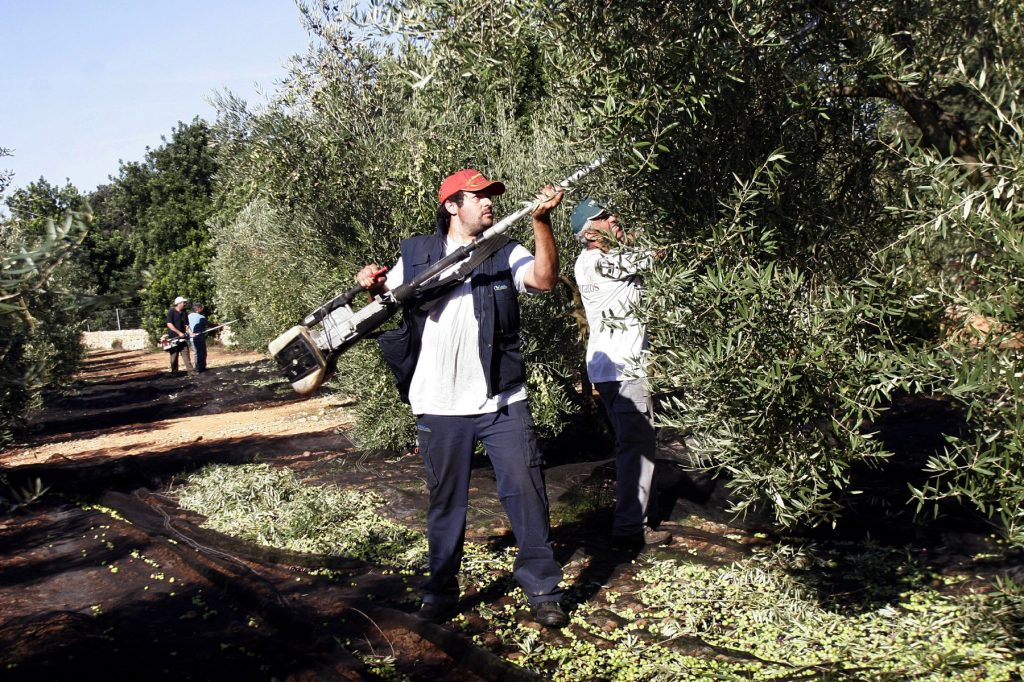 Les oliveres s'exsecallen a mà