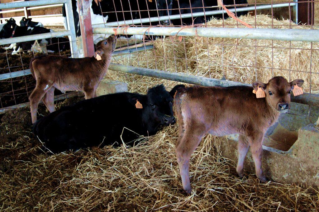 De ben petits, posam tot el nostre afecte en les vaques