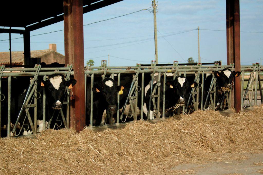 Les vaques duen una vida tranquil·la