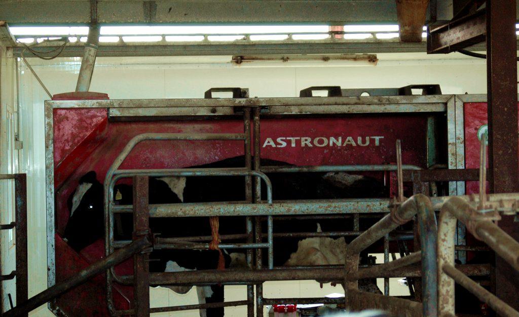 Una màquina s'encarrega de munyir els animals